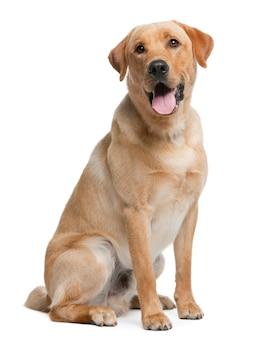 Labrador retriever, 12 meses de idade. retrato de cachorro isolado