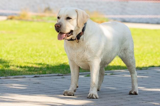 Labrador retriever amarelo