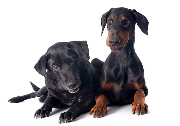 Labrador retriever e dobermann