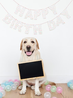 Labrador retriever, em, um, partido aniversário, com, um, vazio, tábua, pendurar, seu, pescoço