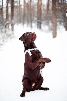 Labrador retriever marrom bonito na floresta de inverno