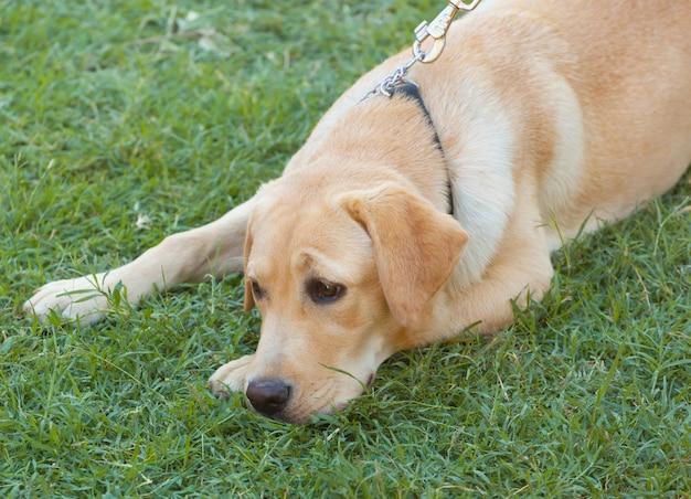 Labrador retriever na grama verde fresca