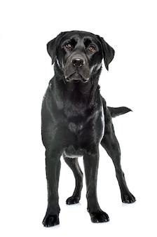 Labrador retriever preto feminino