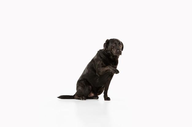 Labrador retriever preto se divertindo