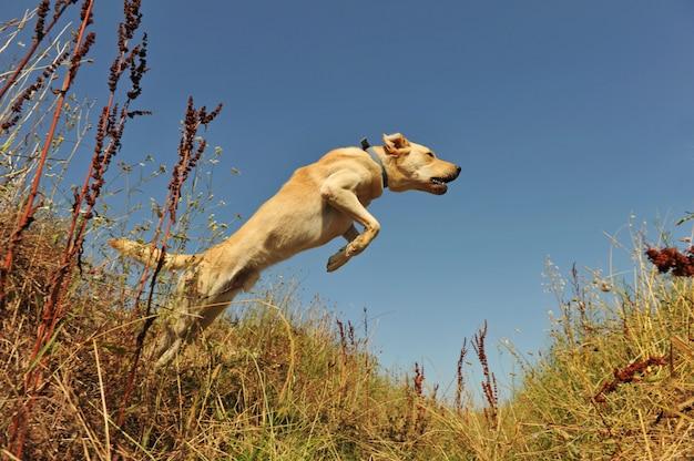 Labrador saltando