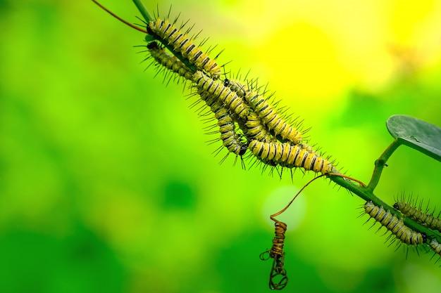 Lacewingss de leopardo crisálida na folha verde