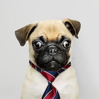 Laço vestindo do filhote de cachorro do pug do negócio