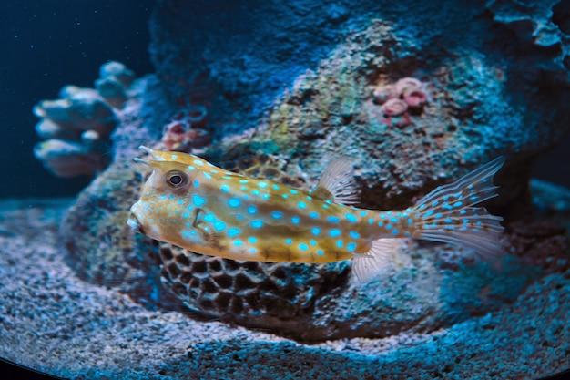 Lactoria cornuta ou longhorn cowfish em aquário de são petersburgo, rússia