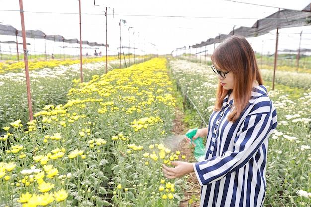Lado, vista, mulher asian, pulverização, crisântemo, em, flores, fazenda