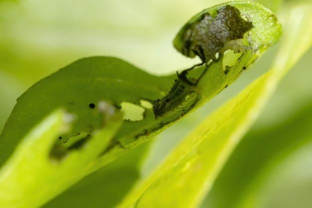 Lagarta de uma mariposa cutworm da família noctuidae em uma planta de manjericão doce da espécie ocimum basilicum
