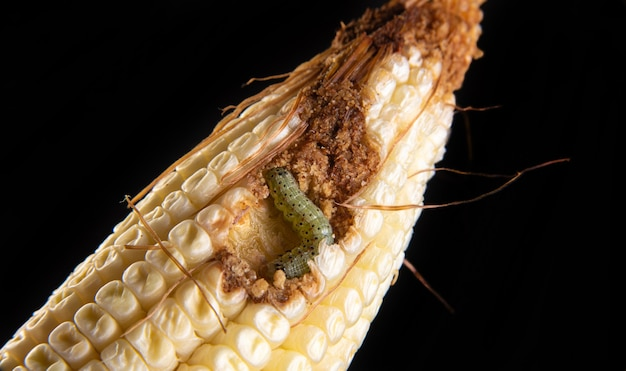 Lagarta do milho em detalhes em uma espiga.