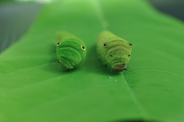 Lagarta na folha verde Foto Premium
