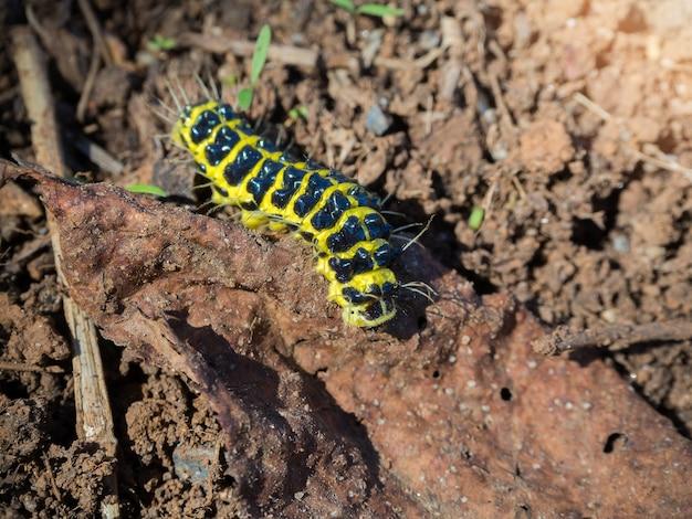 Lagarta preta amarela rastejando no chão