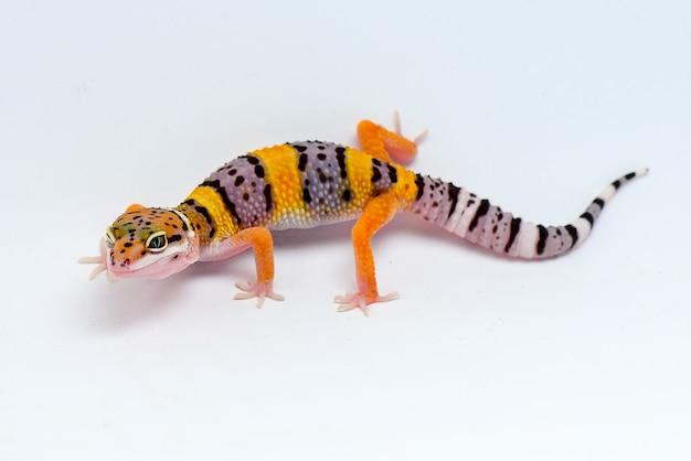 Lagartixa leopardo em fundo branco