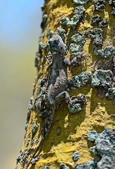 Lagarto africano na savana em uma árvore perto do lago naivasha