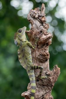 Lagarto-cabeça-angular (gonocephalus bornensis) no tronco da árvore