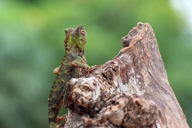 Lagarto-camaleão anguloso em galho de árvore