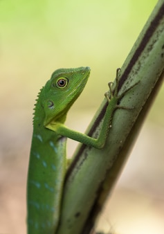 Lagarto com crista verde - cristatella de bronchocela. animal selvagem do parque nacional mulu na malásia, bornéu