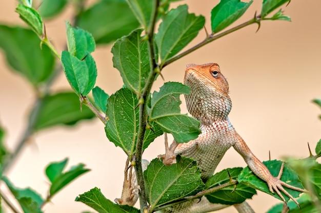Lagarto de jardim oriental climbibg em uma árvore