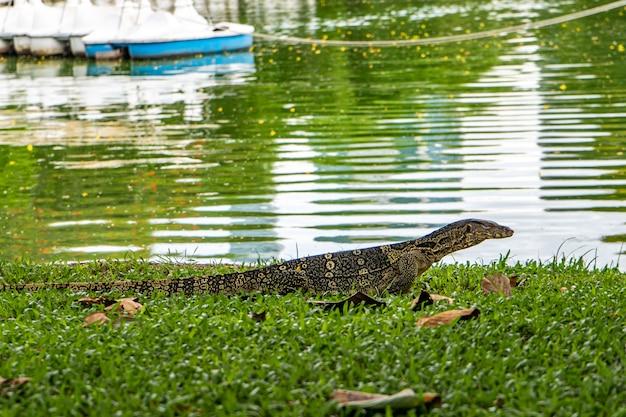 Lagarto de monitor no parque de lumpini, banguecoque. asiático, perigoso.