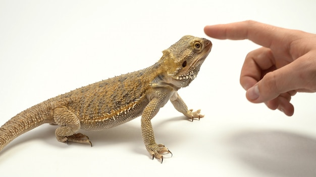 Lagarto de pescoço babado também conhecido como o lagarto babado