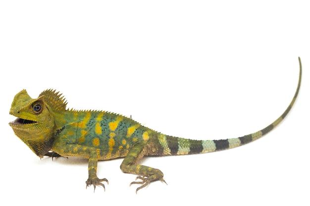 Lagarto-dragão da floresta camaleão