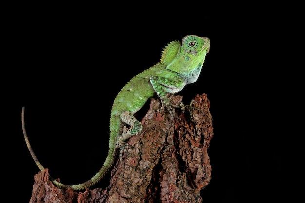 Lagarto dragão da floresta na madeira com parede preta
