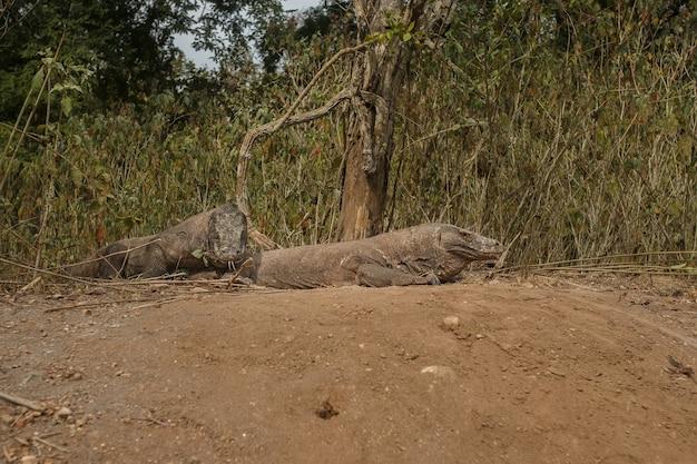 Lagarto gigante dragão de komodo na ilha de komodo