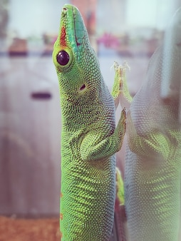 Lagarto grande verde em vidro deitado olhares de close up