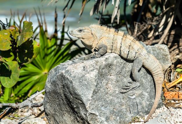Lagarto iguana em tulum em quintana roo, méxico