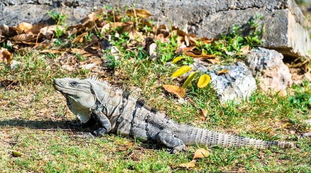 Lagarto iguana em uxmal, no sul do méxico