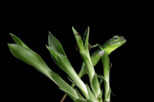 Lagarto jubata verde bebê camuflagem em folhas verdes com parede preta lagarto verde bebê fofo
