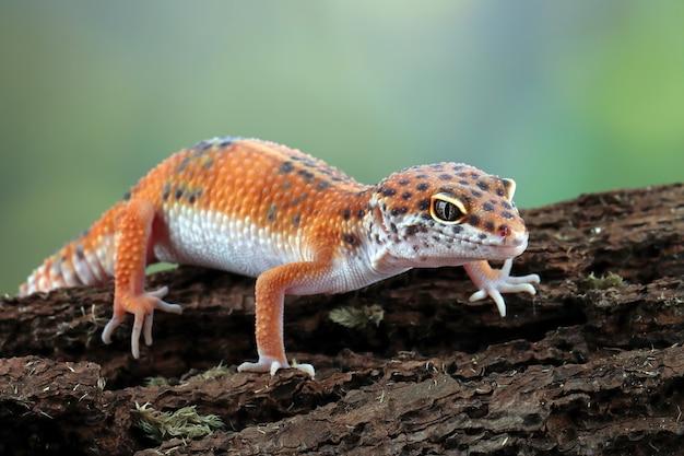 Lagarto lagarto laranja na madeira