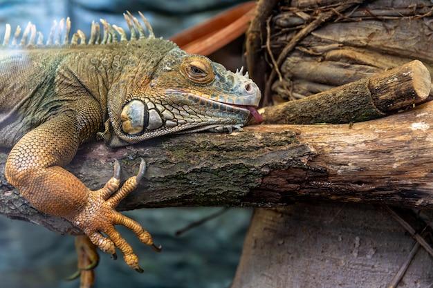 Lagarto-monitor grande descansando em um galho de árvore