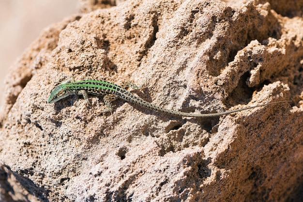 Lagarto rastejando sobre a rocha. vida selvagem em apúlia, salento, itália