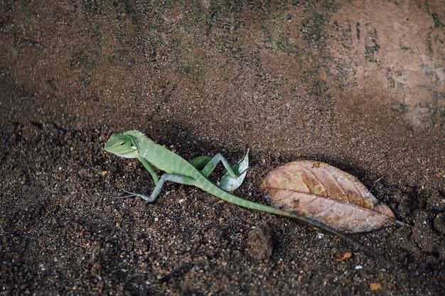 Lagarto verde, camaleão andando