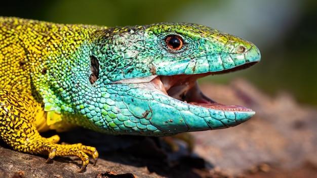 Lagarto verde com um olhar feliz, abrindo a boca em um close-up