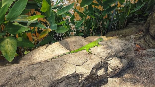 Lagarto verde iguana rastejando sobre pedras rochosas com rio no fundo. animais répteis no parque tropical.