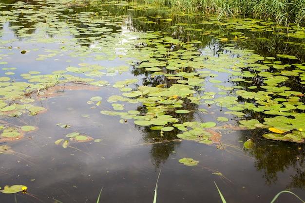 Lago antigo com nenúfares em crescimento