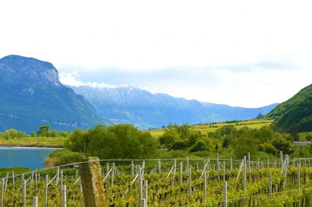 Lago caldaro vineyard, kalterer see. plantação de uvas perto do lago caldaro em bolzano, tirol do sul, itália.