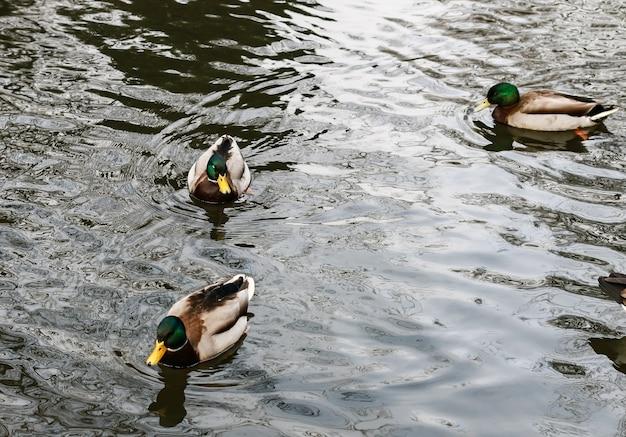 Lago com patos nadando sob a luz do sol durante o dia