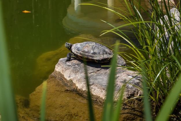 Lago com tartarugas redeared slider no parque paisagístico de aivazovsky park paradise partenit crimea