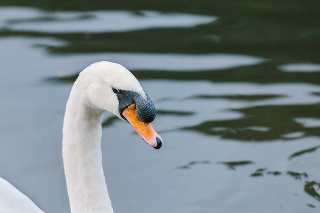 Lago com um cisne branco