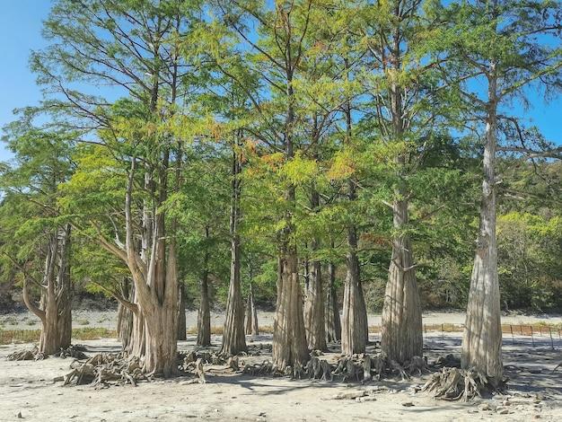 Lago cypress em sukko. atrações de anapa. lago verde. a natureza da rússia. um lago seco. ciprestes em um lago seco. mudança do clima.