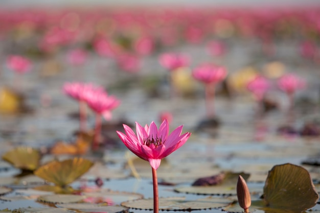 Lago de lótus rosa
