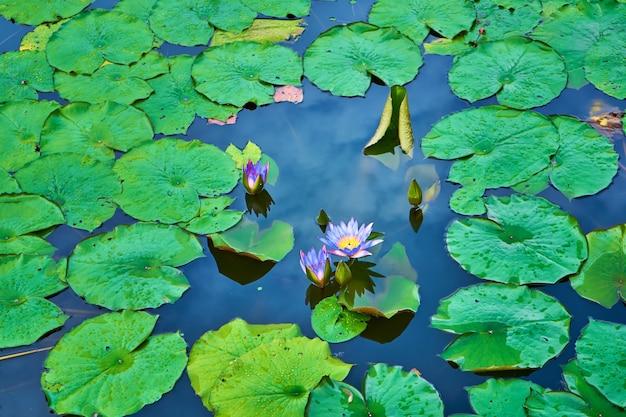 Lago de nenúfares em um parque verde de recreação.