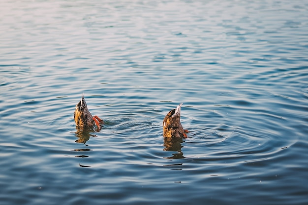Lago tranquilo com dois patos-reais