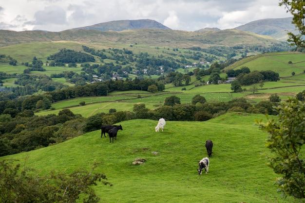 Lago windermere de orrest head nos prados com vacas