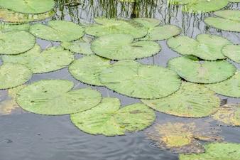 Lagoa de lótus na noite. , paisagem da natureza com folhas de lótus