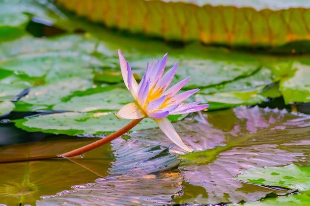Lagoa no jardim tropical, close-up de florescência roxo lírio d'água ou lotus